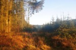 Cookworthy Forest at dawn